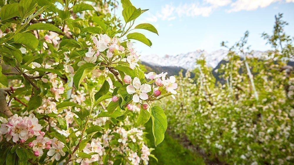 Frühlingszeit heißt Südtirol blüht auf