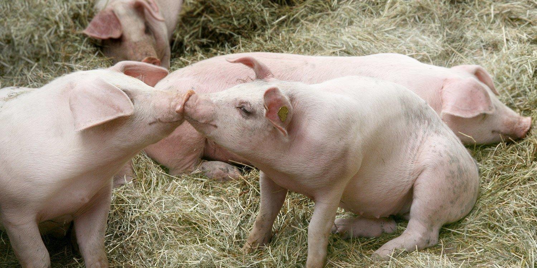 SPECKtakulär Schwein gehabt